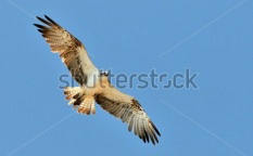 Stock-photo-osprey-flying-pandion-haliaetus-57794716