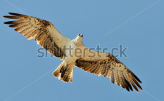 Stock-photo-osprey-flying-pandion-haliaetus-66752497