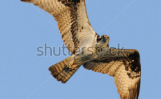 Stock-photo-osprey-in-flight-69059293