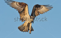 Stock-photo-osprey-in-flight-69334564