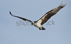 Stock-photo-osprey-in-flight-69483256