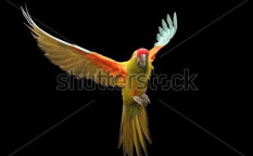 Stock-photo-red-fronted-macaw-flying-nine-72679531
