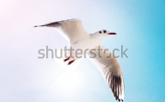 Stock-photo-seagull-flying-against-the-blue-sky-105102089