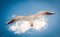 Stock-photo-seagull-flying-against-the-blue-sky-97156193