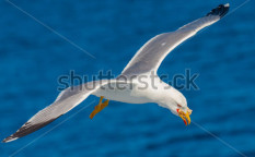 Stock-photo-seagull-flying-among-blue-sky-135134957