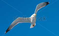 Stock-photo-seagull-in-flight-on-a-beautiful-day-105770597