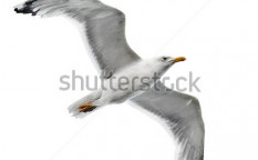 Stock-photo-seagull-isolated-on-white-background-135053300