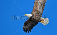 Stock-photo-soaring-bald-eagle-124450324