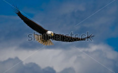 Stock-photo-soaring-bald-eagle-looking-down-55430014