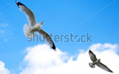 Stock-photo-soaring-seagulls-135585482
