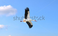 Stock-photo-stork-in-flight-on-a-blue-sky-125701346