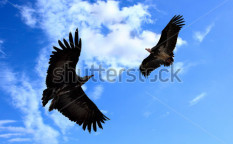 Stock-photo-two-american-condors-flying-in-the-blue-sky-64124128