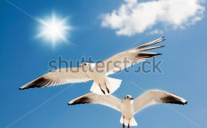 Stock-photo-two-seagulls-are-flying-against-the-blue-sky-97156208