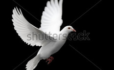 Stock-photo-white-dove-in-flight-2390160