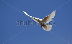Stock-photo-white-pigeon-columba-livia-f-domestica-41325886