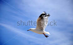 Stock-photo-white-seagull-bird-with-black-tipped-wings-flying-high-against-a-blue-sky-122998222