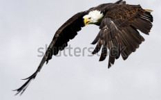 Stock-photo-white-tailed-eagle-98329547