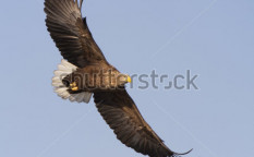 Stock-photo-white-tailed-eagle-flying-in-the-sky-looking-out-for-prey-127840883