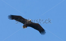 Stock-photo-white-tailed-eagle-in-flight-126845780