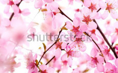 Stock-photo-beautiful-pink-flower-blossom-on-white-33725920