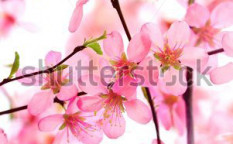 Stock-photo-beautiful-pink-flower-blossom-on-white-33725923