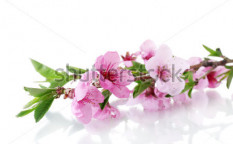 Stock-photo-beautiful-pink-peach-blossom-isolated-on-white-101790997