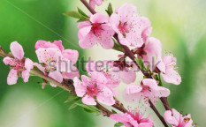 Stock-photo-beautiful-pink-peach-blossom-on-green-background-101791045