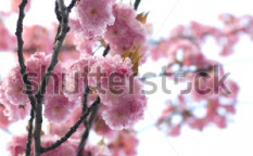 Stock-photo-beautiful-pink-spring-blossom-background-28447378