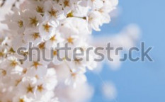Stock-photo-blossoming-sakura-trees-124000111