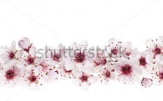 Stock-photo-border-of-beautiful-cherry-blossom-flowers-on-white-background-102075280