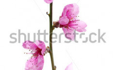 Stock-photo-branch-with-pink-blossoms-isolated-on-white-99404579