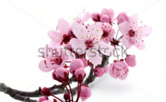 Stock-photo-cherry-blossom-57169162