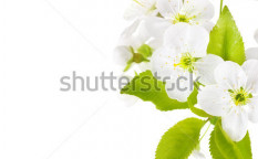 Stock-photo-cherry-blossom-border-29206156
