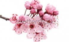 Stock-photo-cherry-blossom-sakura-flowers-isolated-on-white-background-97342844