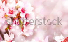 Stock-photo-cherry-blossoms-sakura-82899391