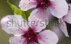 Stock-photo-closeup-of-peach-blossoms-flower-in-spring-orchard-104980355