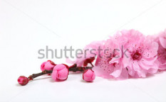 Stock-photo-closeup-of-pink-cherry-blossom-flowers-with-copy-space-for-text-51016879