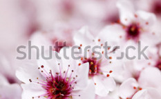 Stock-photo-cluster-of-delicate-pink-cherry-blossom-flowers-102075274