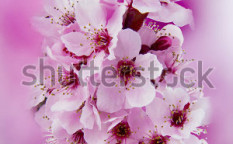 Stock-photo-sakura-blossom-studio-lightning-on-bright-background-130467593
