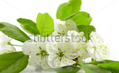 Stock-photo-spring-cherry-blossom-on-the-white-background-63842290