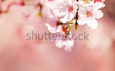 Stock-photo-spring-cherry-blossoms-124344244