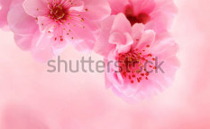 Stock-photo-spring-cherry-blossoms-on-pink-background-21501046