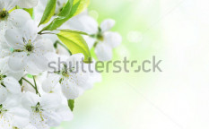 Stock-photo-spring-cherry-flowers-blossom-76403446