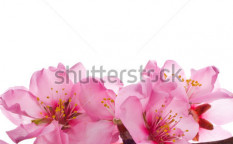 Stock-photo-spring-flowering-branches-pink-flowers-no-leaves-blossoms-almond-isolated-on-white-background-127212068