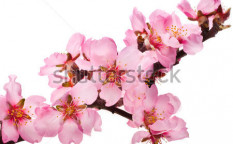 Stock-photo-spring-flowering-branches-pink-flowers-no-leaves-blossoms-almond-isolated-on-white-background-127364894
