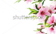 Stock-photo-spring-peach-blossom-on-white-52686226