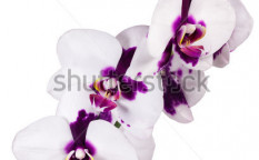 Stock-photo--orchid-on-white-background-114868273