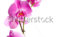 Stock-photo--pink-flowers-orchid-on-a-white-background-4050901