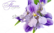 Stock-photo-a-beautiful-blue-iris-flower-on-a-white-background-105789014