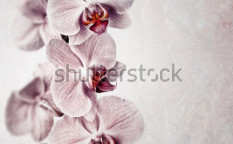 Stock-photo-a-delicate-pink-orchid-on-faded-vintage-style-background-with-space-for-your-text-126868463